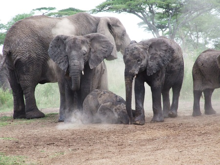 A family of elephants taking a dust bath photo