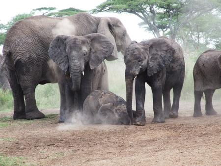 A family of elephants taking a dust bath