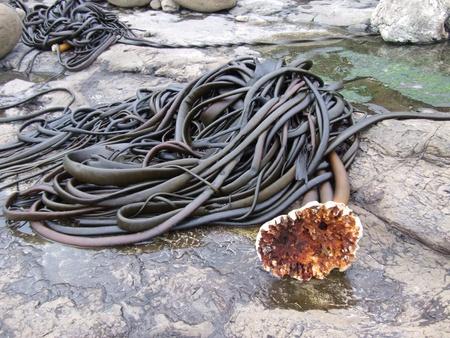 Giant wodorosty na skałach w Nowej Zelandii