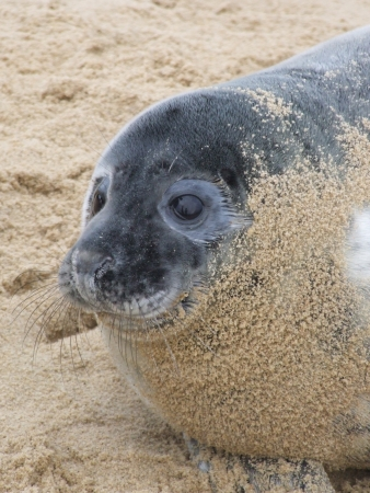 A seal pup starting to shed it's fur in Norfolk, England