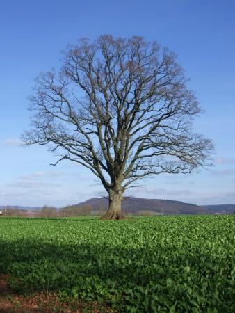 Samotne drzewo na angielskiej krajobraz