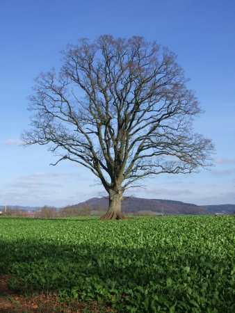 Solitary tree on the English landscape Stock Photo