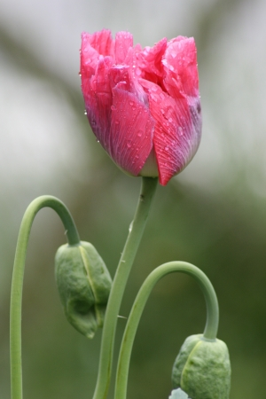 A close-up of a pink Opium Poppy in the rain