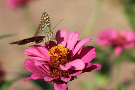 Motyl na kwiat patrząc Zdjęcie Seryjne