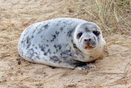 A seal pup on a beach in Norfolk, England
