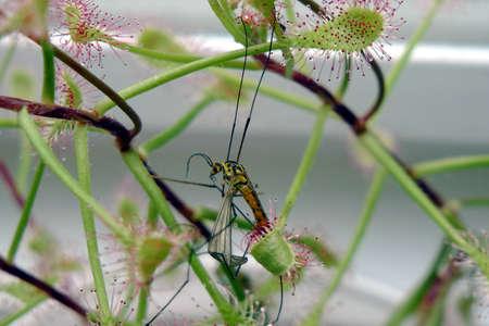 crane fly: Spotted Crane Fly (Nephrotoma appendiculata) caught by a Sundew (Drosera carpensis)