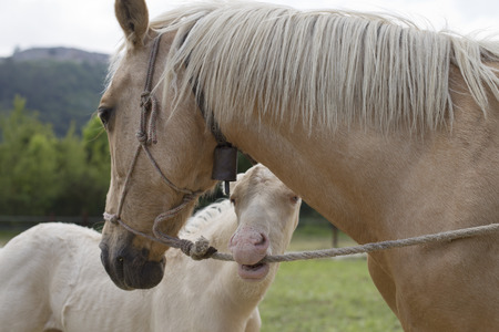 Cremello foal (or albino) is biting a rope Stock Photo