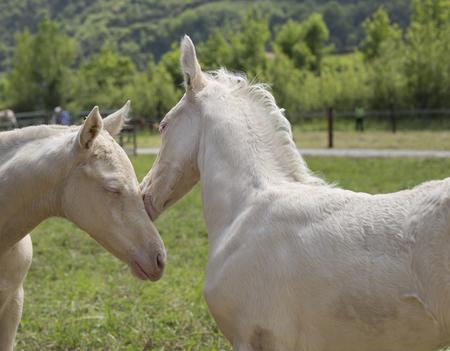 Twins cremello foals (or albino) Reklamní fotografie