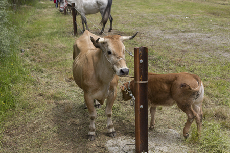 Aerial view of a cow and a calf Stock Photo
