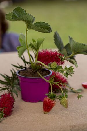 Close up of strawberries in a competition