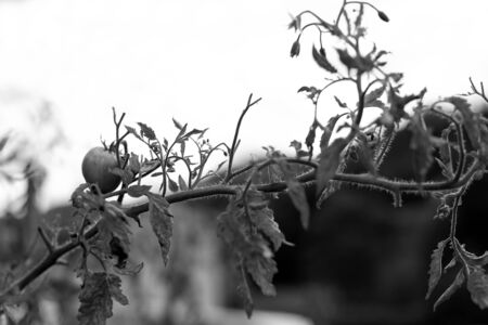 Tomato on a branch