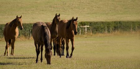 trotting: Horses trotting towards camera  in field with room for copy Stock Photo
