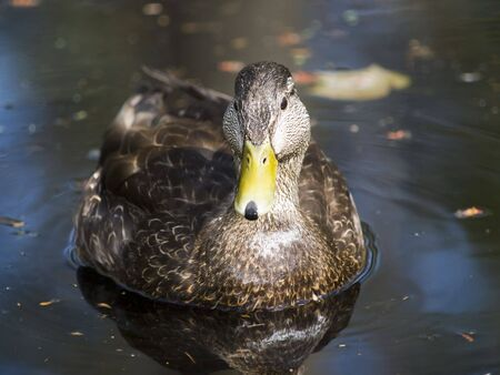 duck in a river with beautiful color Stock Photo - 4840098