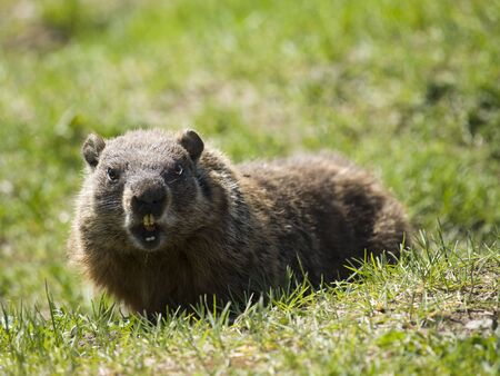 marmot in the wild with is mouth open