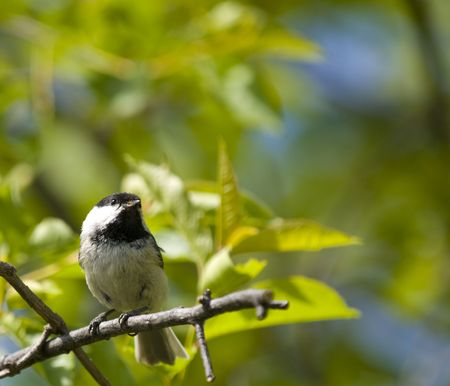 beautiful coal tit on a branch in the forest