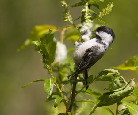 beautiful coal tit eating on a branch