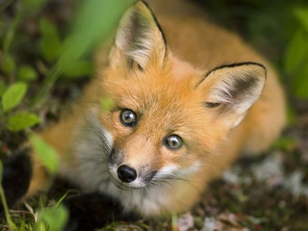 fox fur: wild red fox from national park Jacques Cartier Quebec Canada