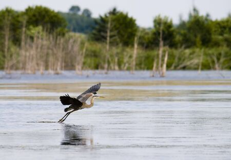 great blue heron in flight in nature with water and tree around Stock Photo - 5299808