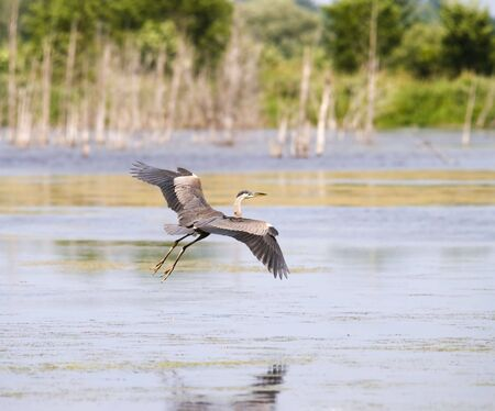 long lake: great blue heron in flight in nature with water and tree around