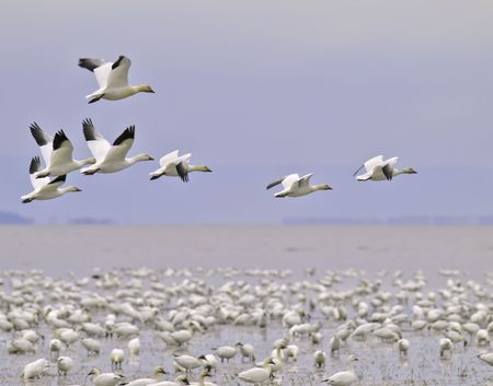 beautiful snow goose group in flight photographed during the morning sunrise color. Cap tourmente Quebec during their migration to east coast. Stock Photo - 5751099