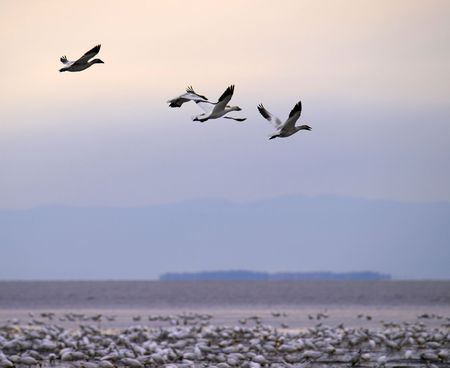 beautiful snow goose group in flight photographed during the morning sunrise color. Cap tourmente Quebec during their migration to east coast. Stock Photo - 5751098