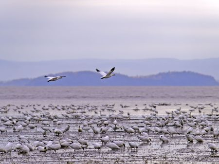 beautiful snow goose group in flight photographed during the morning sunrise color. Cap tourmente Quebec during their migration to east coast. Stock Photo - 5751100