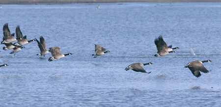 canadian geese flying above the water. Wildlife scene. Stock Photo - 6684881