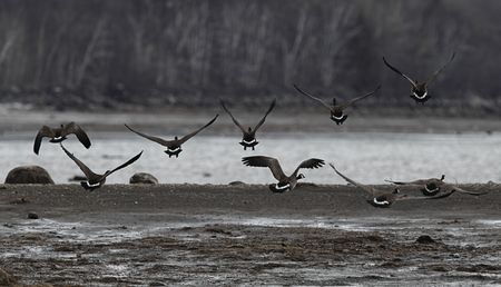 Canadian geese group starting to fly with tree and river in the background.Low saturation. Stock Photo - 6684898