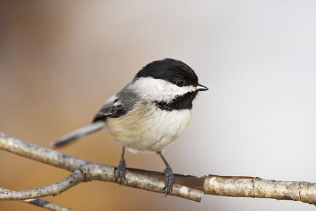 capped: Black capped Chickadee bird on a branch with beautiful orange background. Very shallow depth of field.