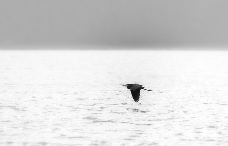 Great blue heron silhouette flying in a bright fog. Black and white photography. Stock Photo - 10997619
