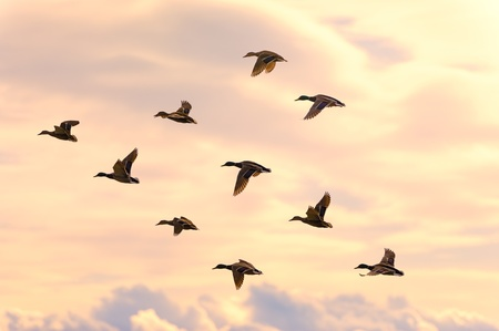 mallard: Beautiful duck group flying with soft morning sunrise light. Clouds in the background and warm tone. Stock Photo