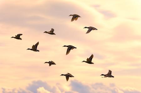 pato real: Grupo de patos volando con hermosa luz suave del amanecer ma�ana. Nubes en el fondo y el tono c�lido. Foto de archivo