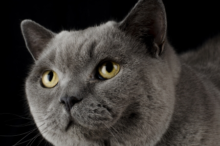 British Blue Shorthair Cat on a black background  Close up  photo