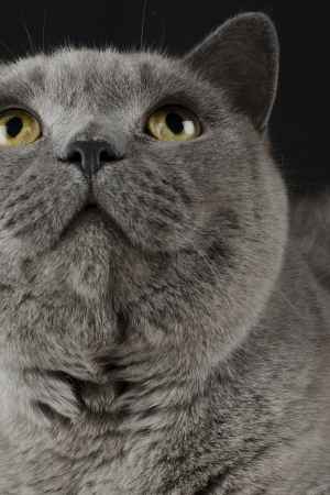 British Blue Shorthair Cat on a black background  Close up  Stock Photo - 15532099