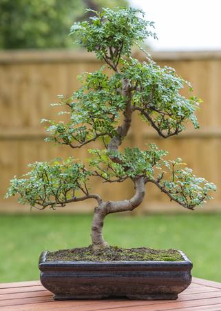 Bonsai - Pepper tree bonsai outdoors. Stock Photo