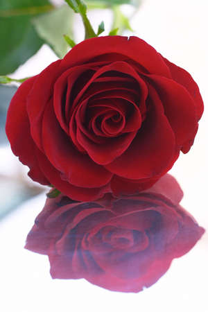 Red rose on a silver tray. photo
