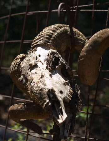 eye socket: The rotting remains of a sheeps head, tied to a fence as a macabre rural ornament. Shallow focus on the eye socket. Stock Photo