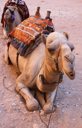 A Bedouins Arabian camel (dromedary) waiting for tourists at Petra, Jordan. The bottom jaw has motion blur as the camel was chewing. Focus is on the eyes.