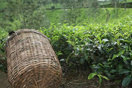 Tea bushes and a traditional basket used by tea-pickers on an upcountry tea estate in Sri Lanka
