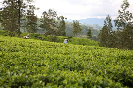 Two Tamil plantation workers pluck leaves in a Sri Lankan tea garden. The women's faces have been blurred so there is not even a possibility of visible features. Stock Photo - 268441
