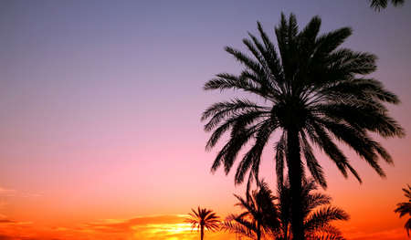 Palms silhouetted against an arabian sunset photo