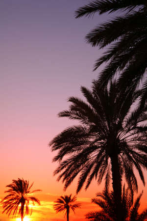 Palms silhouetted against an Arabian sunset. photo