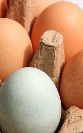 cotswold: Un blu Cotswold Livorno uova di pollo in un vassoio di uova normali marrone