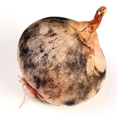 An onion with a severe infestation of black mold, Aspergillus niger, a fungal disease most commonly the result of poor storage in warm, humid conditions. It can cause human health problems. Stock Photo