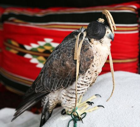 peregrine: A Qatari falconers bird, a shaheen (peregrine falcon) at rest in his tent, with traditional Arabian textiles in the background, part of the exhibition of traditional life during Doha Culturual Festival, 2007.