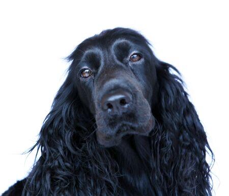 bitch: Retrato de un negro perra Cocker Spaniel sobre un fondo blanco.