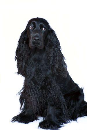 puta: Un negro perra Cocker Spaniel sentado en un fondo blanco