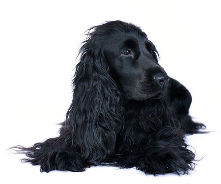 bitch: Un Ingl�s Cocker spaniel perra tumbado en plantear una alerta sobre un fondo blanco.  Foto de archivo