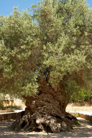 The ancient olive tree (Olea europaea) at Vouves, in Kolimbari district of Crete.  Stock Photo