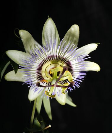 passionflower: Macro of a bluecrown passionflower from Crete, Southern Europe. Stock Photo